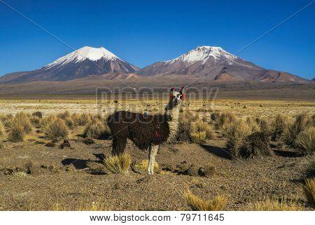 Llama In Sajama