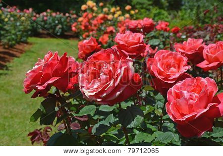 Beautiful Pink Summer Roses