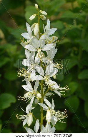 White Flowers Of Dictamnus Albus, Burning Bush.