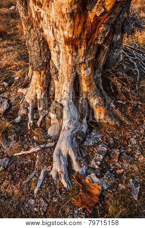 Mysterious Tree Trunk And Roots