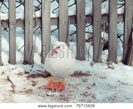 Duck On A Background Of Wooden Fence