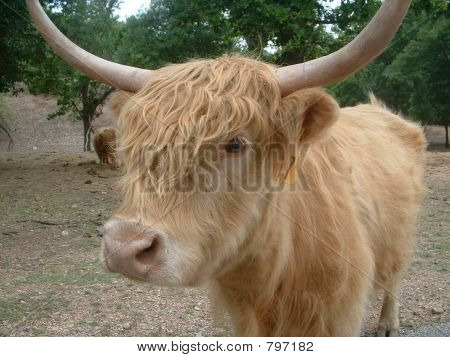 hairy cow
