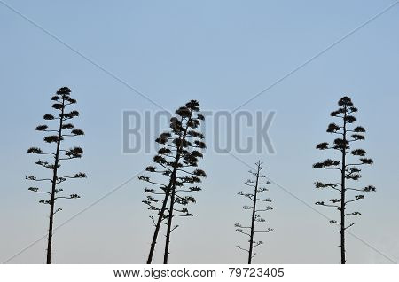 Agave Tree Century Plant