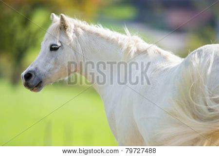 White pony close up on green background, Welsh pony.