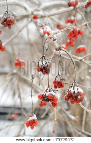 Red Rowan Tree In Winter Forest