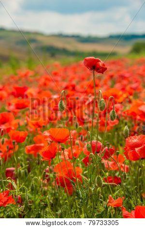Toscany poppies