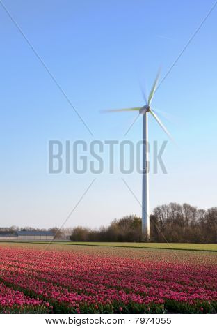 Tulips And Windmill In Holland