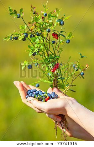 Young woman hand with blueberry and lingonberry bush. On green grass field background.