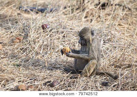 Olive Baboon Holding Fruit