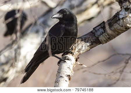 Carrion Crow Which Sits On A Branch Stone Birch Sunny Autumn