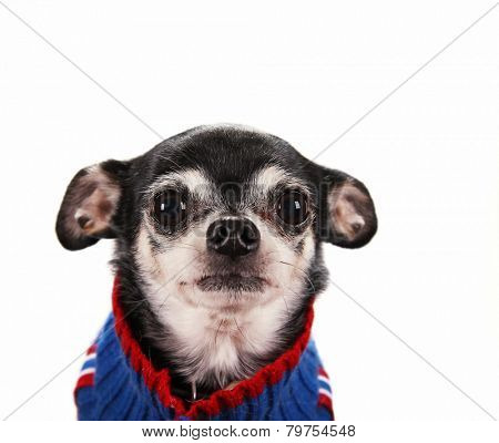 a cute chihuahua with his ears back in a submissive position wearing a knitted cardigan sweater