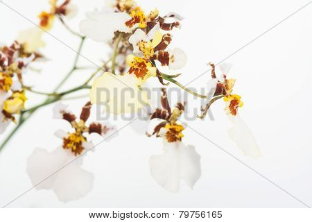 White And Yellow Dancing Lady Orchids