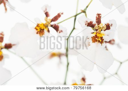 White Oncidium Dancing Lady Orchids Close-up