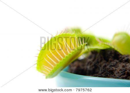 Dionaea, Flytrap, In Closeup