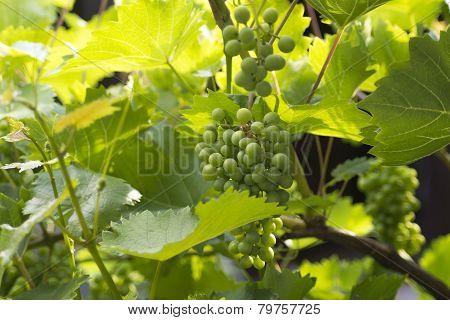 Unripe Grapes On A Twig