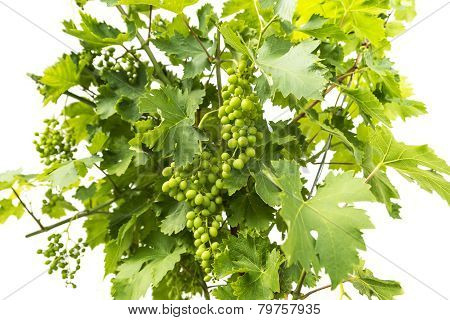 Young Green Unripe Wine Grapes On A White Background