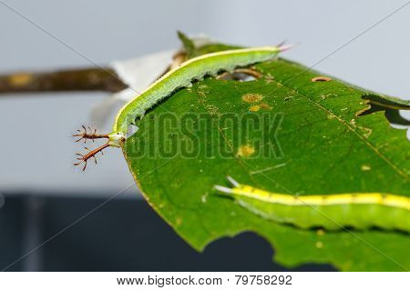 Close Up Caterpillar Of Siamese Black Prince Butterfly