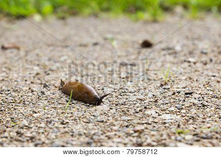 Spanish Slug On A Sandy Road