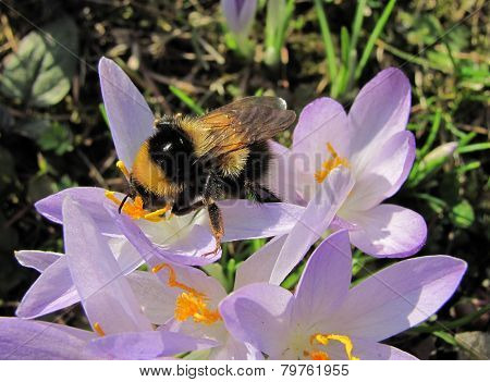 bumblebee on crocus blooms