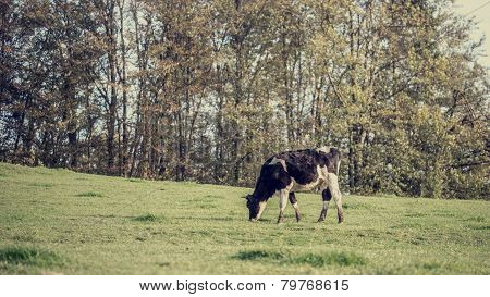 Retro Image Of Black And White Dairy Cow Eating Grasses