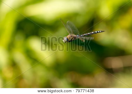 Male Migrant Hawker Dragonfly Hovering Straight Winged
