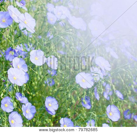 Blooming Flax
