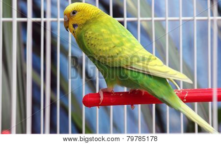 Green Parrot In A Cage