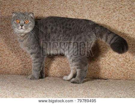 Scottish Fold Gray Cat Standing On Couch