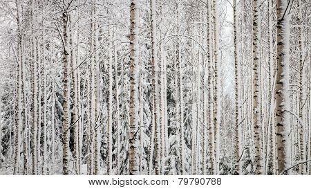 Snowy Trees Panorama