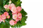 image of begonias  - Pink begonia flower isolated on white background - JPG