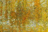 pic of lichenes  - Yellow lichen growth texture on concrete wall - JPG
