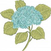 foto of hydrangea  - Blue hydrangea isolated on white background - JPG