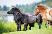 image of pony  - Herd of Shetland ponies on the hill in autumn background - JPG