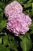Постер, плакат: Pink Hydrangea or Hortensia