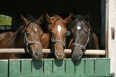 pic of thoroughbred  - Nice thoroughbred foals in the stable door - JPG