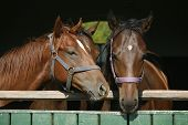 image of thoroughbred  - Purebred chestnut racing horses in the barn - JPG