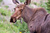 pic of denali national park  - A female moose in Denali National Park Alaska - JPG