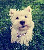 stock photo of westie  -  a cute westie  - JPG