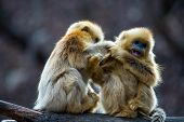 picture of lice  - Two little golden monkey sit on the tree help each catching lice - JPG