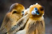 image of lice  - Two beatiful golden monkeys catching lice for each other - JPG