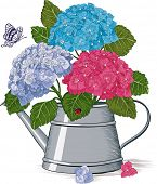 foto of hydrangea  - Colorful hydrangea in a watering can isolated on a white background - JPG