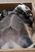 foto of badger  - Funny sleeping young badger animal - JPG