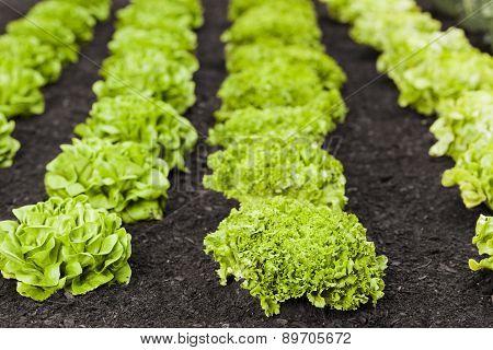 Lettuces Field