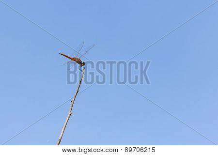 Dragonfly On Dried Tree Branch