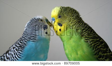 Parakeets showing their affection