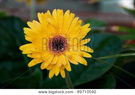 Wet Gerbera Flower In Shade