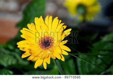 Wet Gerbera Flower In Sunshine