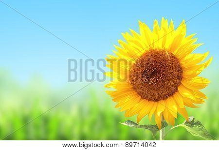 Yellow sunflower, green grass and blue sky