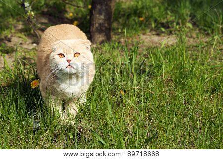 British cat on grass background