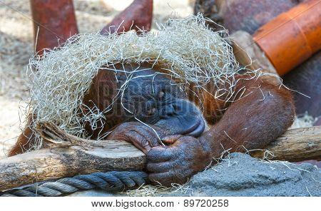 Sleeping Orangutan